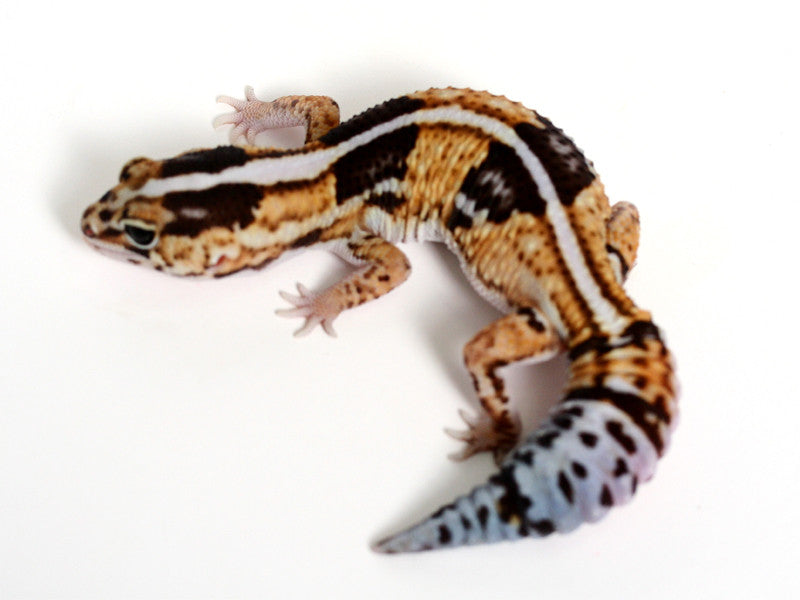 White Out African Fat Tail Gecko - 052816a - female