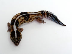 White Out Het Patternless African Fat Tail Gecko - 060116a - female