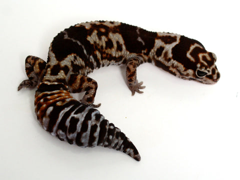 White Out African Fat Tail Gecko - 062514a - female