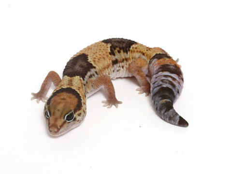 Aberrant Line African Fat Tailed Gecko - 050811b - female