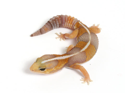 Amel het White Socks African Fat Tailed Gecko - 071311 - male