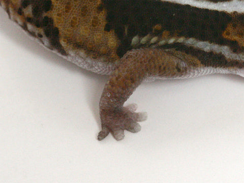 Possible het Amel 100% het Whitesock African Fat Tailed Gecko - 070613b -female