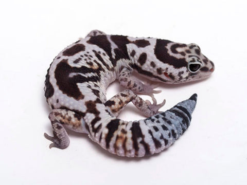 White Out 50% het Patternless African Fat Tail Gecko - 041217a - male