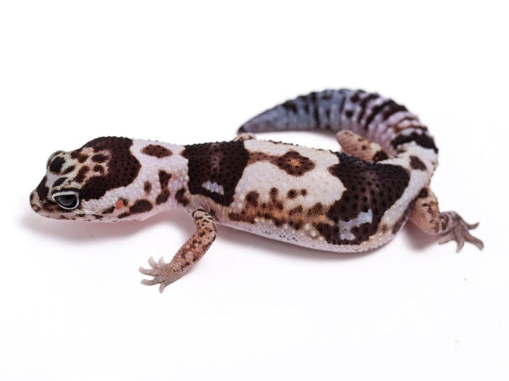 White Out 50% het Patternless African Fat Tail Gecko - 050817 - female