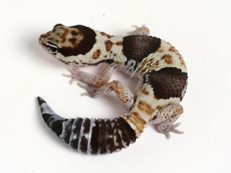 White Out African Fat Tailed Gecko - 082213b - male