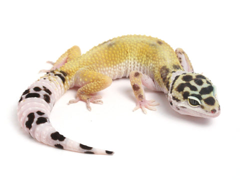Halloween Mask X TUG Snow Leopard Gecko -  051413B - female