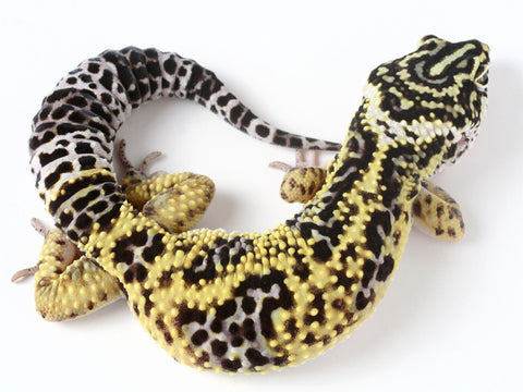 Bold Black & White - Halloween Mask X TUG Snow Leopard Gecko - 051014- Male