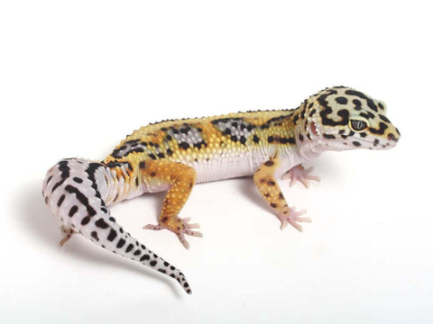 Halloween Mask Emerine Bold Leopard Gecko 042812a - male