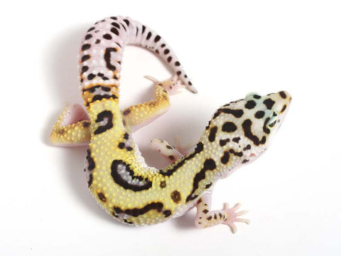 Halloween Mask Emerine Bold Leopard Gecko 050812B - male