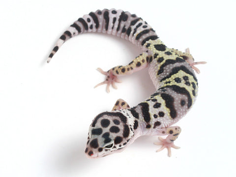 Halloween Mask X TUG Snow Leopard Gecko - 052913A - female