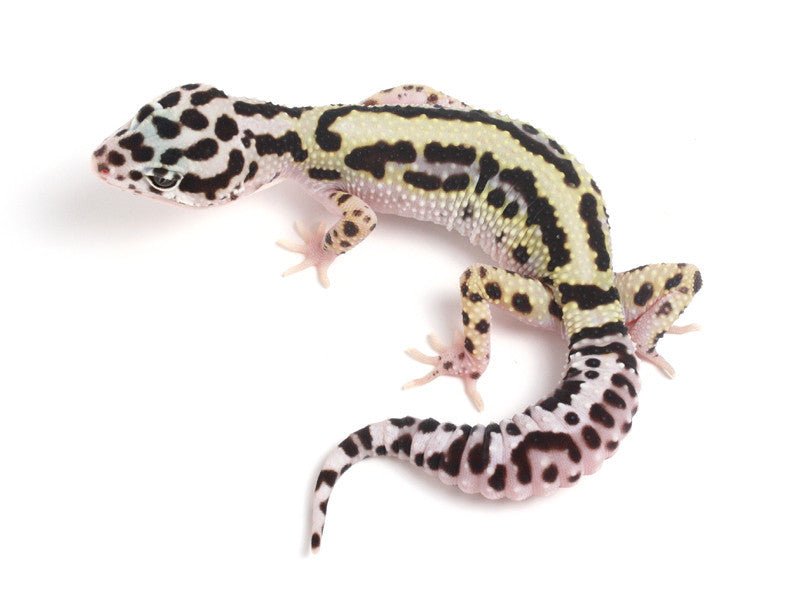 **SOLD**   Halloween Mask X TUG Snow Leopard Gecko -  060913A - female