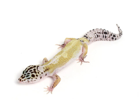 Halloween Mask X TUG Snow Leopard Gecko -  060913F1F1 - female