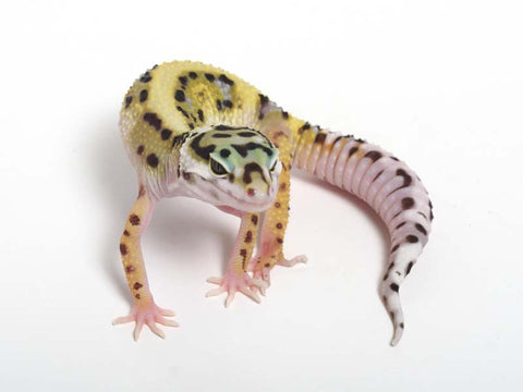 Halloween Mask R2 Bold Leopard Gecko -  061412B - female