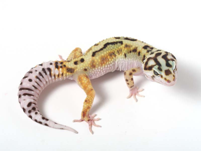 Halloween Mask R2 Bold Leopard Gecko -  041812a - female