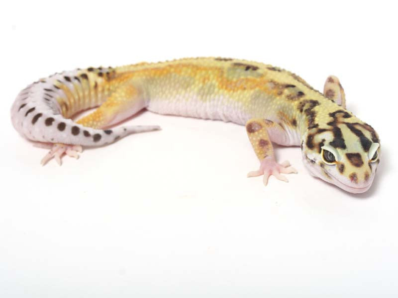 Halloween Mask R2 Bold Leopard Gecko -  041812b - female