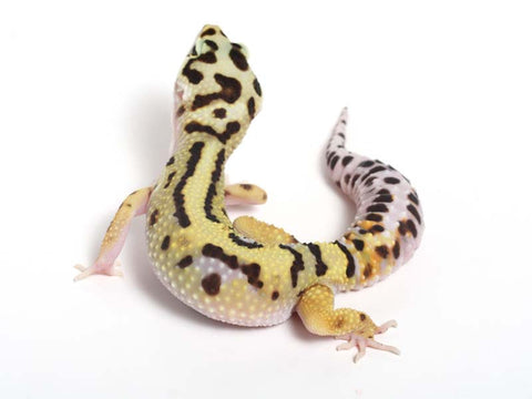 Halloween Mask X TUG Snow Leopard Gecko -  042412B - female