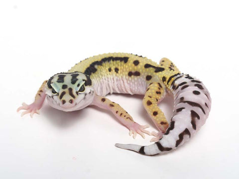 Halloween Mask R2 Bold Leopard Gecko -  060412A - female