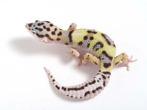 Halloween Mask X TUG Snow Leopard Gecko -  061112 - female