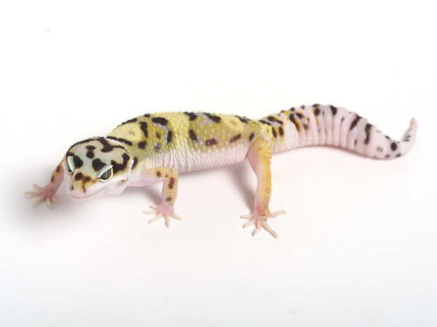 Halloween Mask X TUG Snow Leopard Gecko -  061412B - female