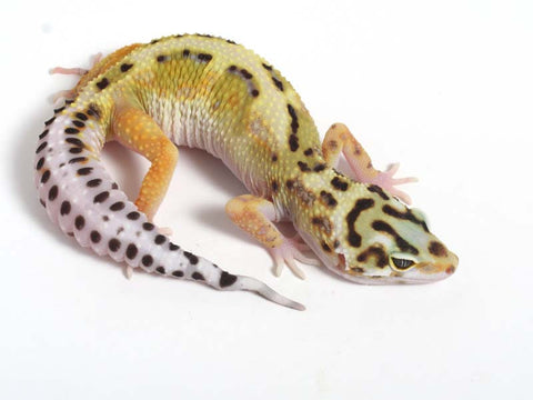 Halloween Mask R2 Bold Leopard Gecko -  061612 - female