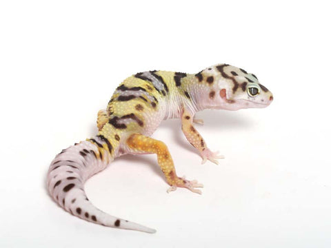 Halloween Mask R2 Bold Leopard Gecko -  061612B - female
