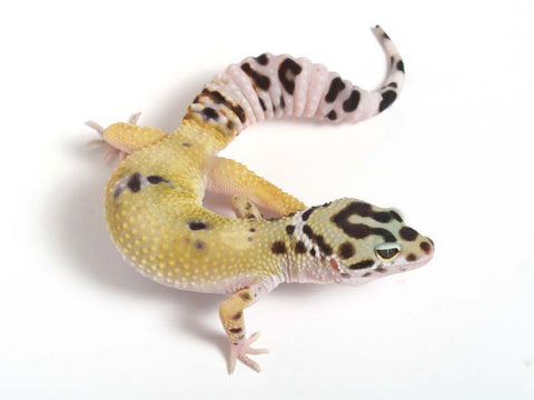 Halloween Mask X TUG Snow Leopard Gecko -  070112 - female