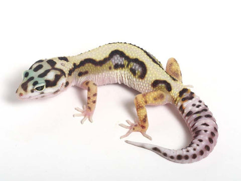 Halloween Mask R2 Bold Leopard Gecko -  071512B - female