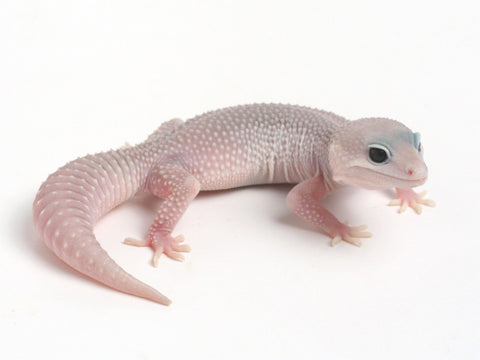 Patternless Super Snow het Las Vegas Albino Leopard Gecko - 053013 - female