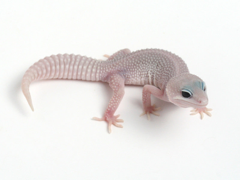Patternless Super Snow het Las Vegas Albino Leopard Gecko - 062913a - female