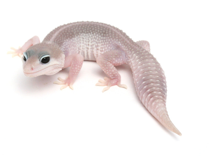 Patternless Super Snow het Las Vegas Albino Leopard Gecko - 062913b - female