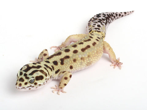 Halloween Mask R2 Bold Leopard Gecko-Proven- male