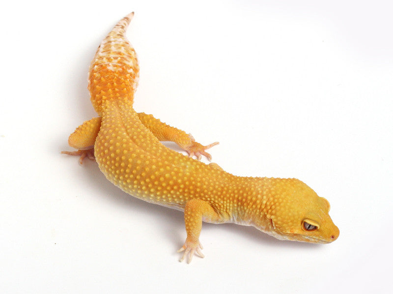 Sunglow Leopard Gecko - 2010 - female