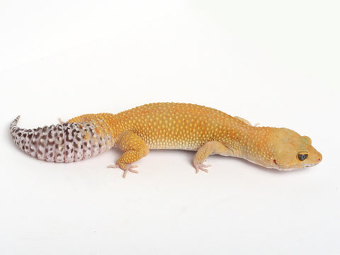 Tangerine Leopard Gecko - Proven ETC Blood Hypo - female