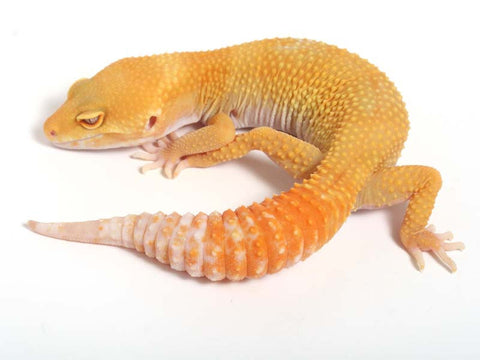 Sunglow Leopard Gecko - 03-041012-female