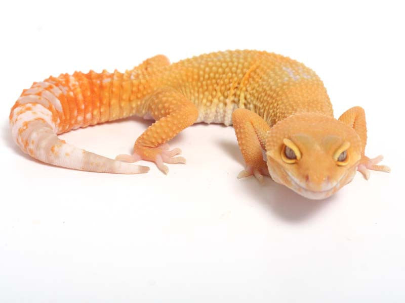 Sunglow Leopard Gecko - 03-052012b-female