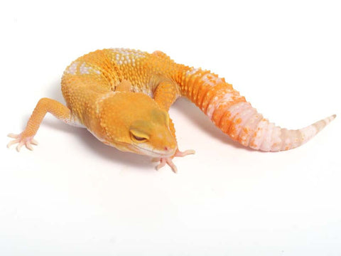 Sunglow Leopard Gecko - 03-062812-female