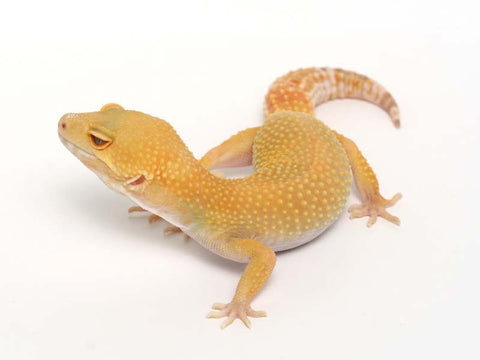 Sunglow Leopard Gecko - 01-052311-female