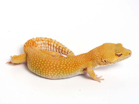 Sunglow Leopard Gecko - 02-051709-female