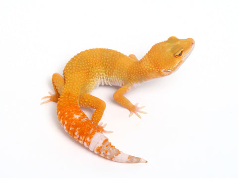 Sunglow Leopard Gecko -  053013A - female