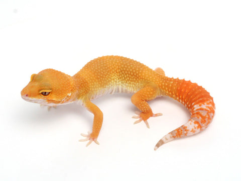 Sunglow Leopard Gecko -  053013B - female