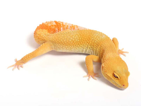 Sunglow Leopard Gecko - 03-040612-male
