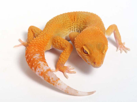 Sunglow Leopard Gecko - 03-041312a-male