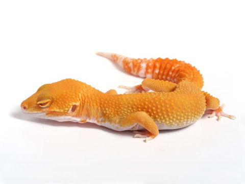 Sunglow Leopard Gecko - 03-050412a-male