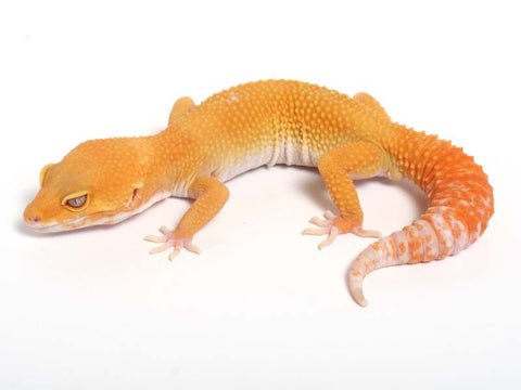Sunglow Leopard Gecko - 03-050412b-male