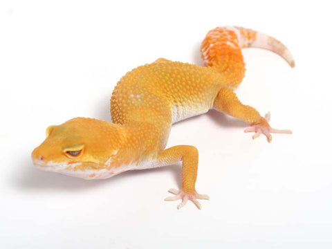 Sunglow Leopard Gecko - 03-052012a-female