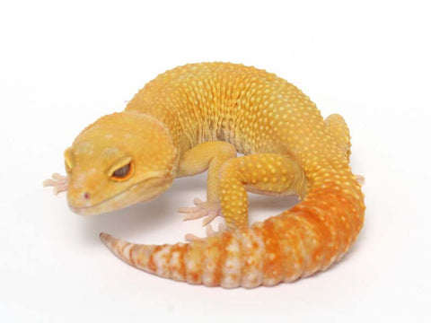 Sunglow Leopard Gecko - 01-040411b-male