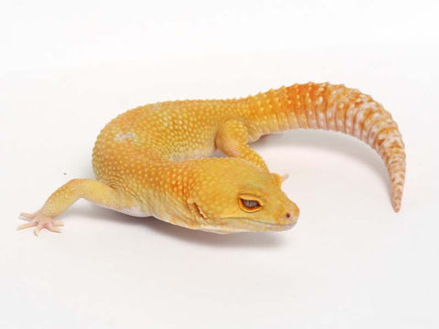 Sunglow Leopard Gecko - 01-040511-male
