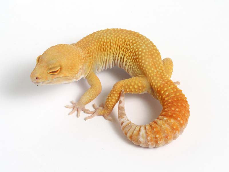 Sunglow Leopard Gecko - 01-041411a-male
