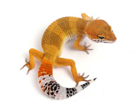 *On HOLD* Tangerine het Sunglow Leopard Gecko - 070113A- female