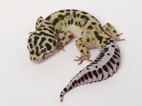 Halloween Mask R2 Bold Leopard Gecko -  071512 - female